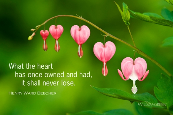 "Photograph of bleeding heart flowers with a quote by Henry Ward Beecher: ""What the heart has once owned and had, it shall never lose."""